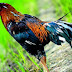 Mengenal  ciri-ciri ayam sentul asli jawa barat