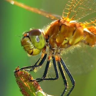 chuon chuon do, Những cánh chuồn chuồn đẹp rực rỡ nhất