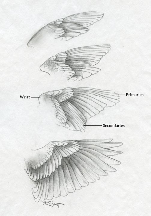 Sandy Scott Art: #427 In the studio: Bird anatomy, con't