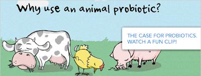 Sử dụng prebiotic trong chăn nuôi gia súc.