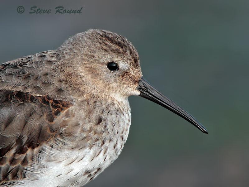 Dunlin, wader, bird