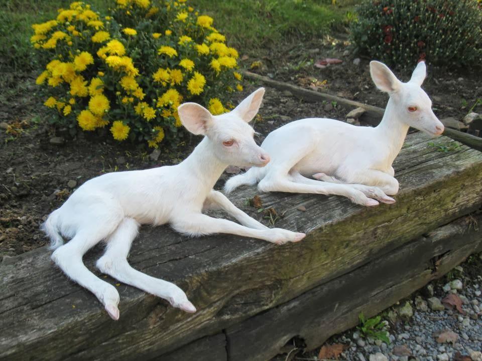 Baby Seneca White Deer