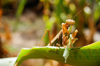 Praying Mantises and Deadly Mating Ritual