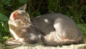 Lilac Abyssinian Kitten