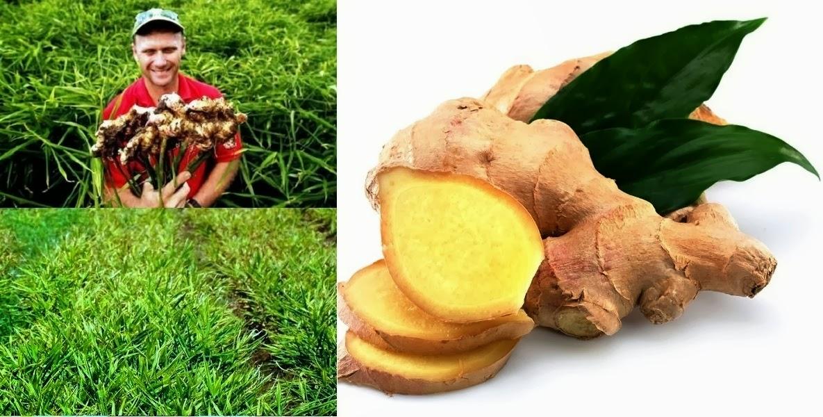Rhizome of ginger
