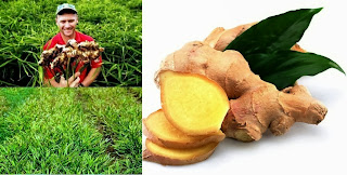 Growing Ginger Root to Earn Money