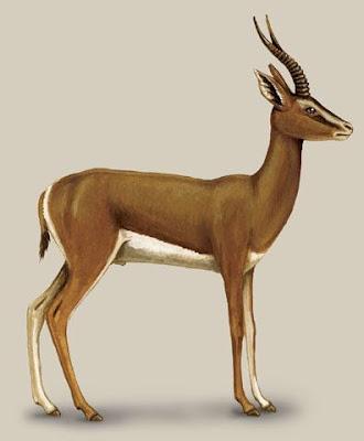 gacela de montaña Gazella gazella