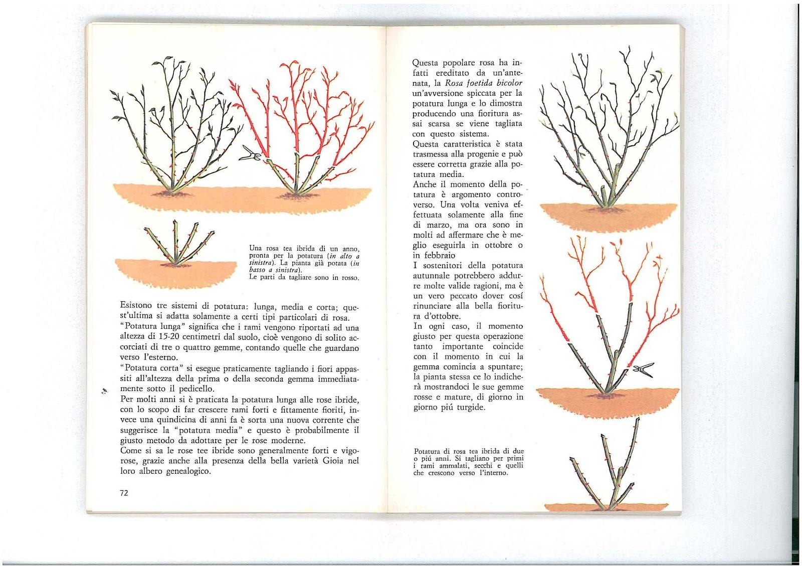 L 39 uliveto sul canal bianco potatura delle rose for Potatura delle rose