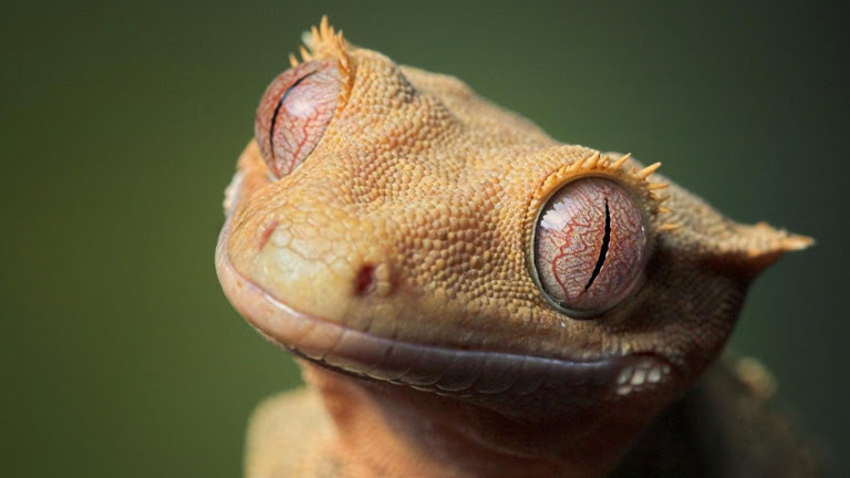 Lizard HD Wallpaper 2