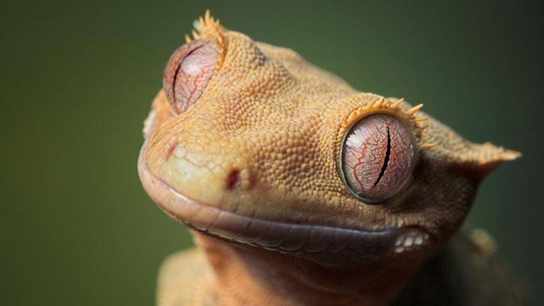 Lizard HD Wallpaper 2