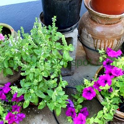 I natura la albahaca ocimum basilicum repelente de for Cultivo de albahaca en interior