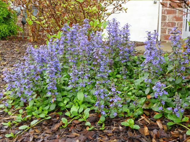 Side view of flower spikes on Ajuga genevensis (partial shade setting)
