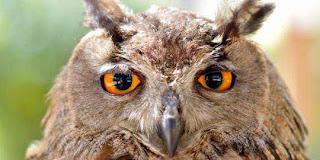 Jawaban Mengapa Burung Hantu Bisa Memutar Kepalanya