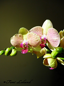 Moth Orchid (Phalaenopsis) close-up with soft background by Toni Leland
