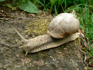 title: Roman snail; source: http://www.freephotos.se; taken by:Magnus Rosendahl