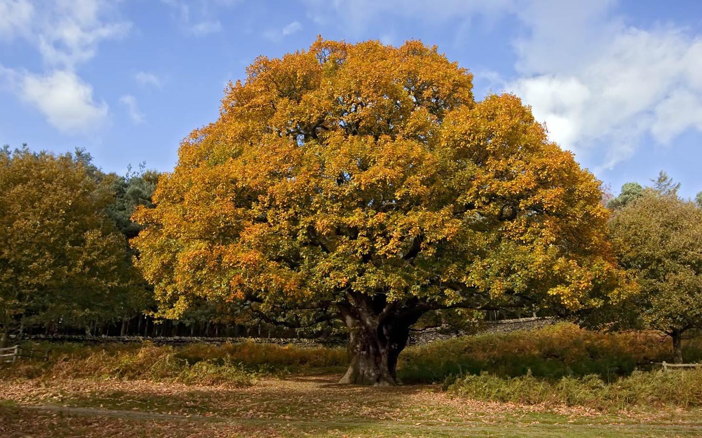 http://1.bp.blogspot.com/-wWIQIKPyTvM/TpZT8ac7agI/AAAAAAAACl4/AqLTLXyhVdA/s1600/autumn-oak-tree.jpg