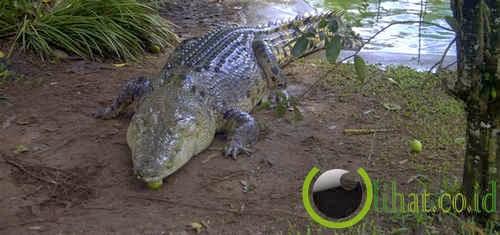 Buaya muara (Crocodylus porosus)