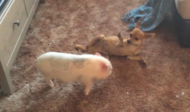 Rescue Piglet And Chihuahua Wrestle Like Brothers (Video)