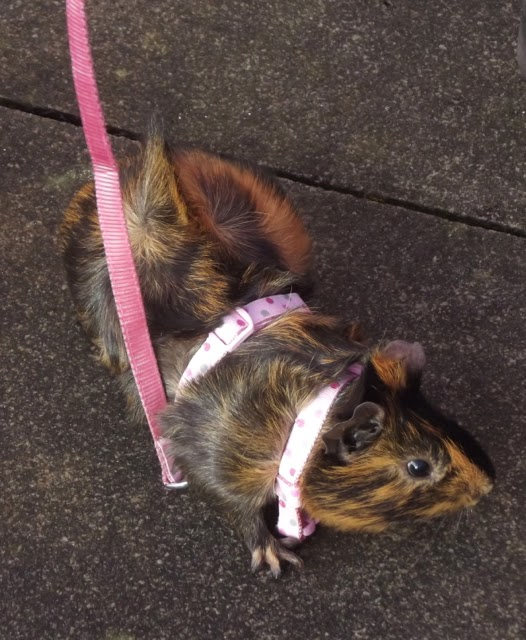 Guinea pig on lead