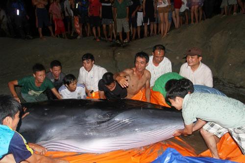 Giải cứu cá voi 2 tấn mắc cạn ở đảo Cô Tô