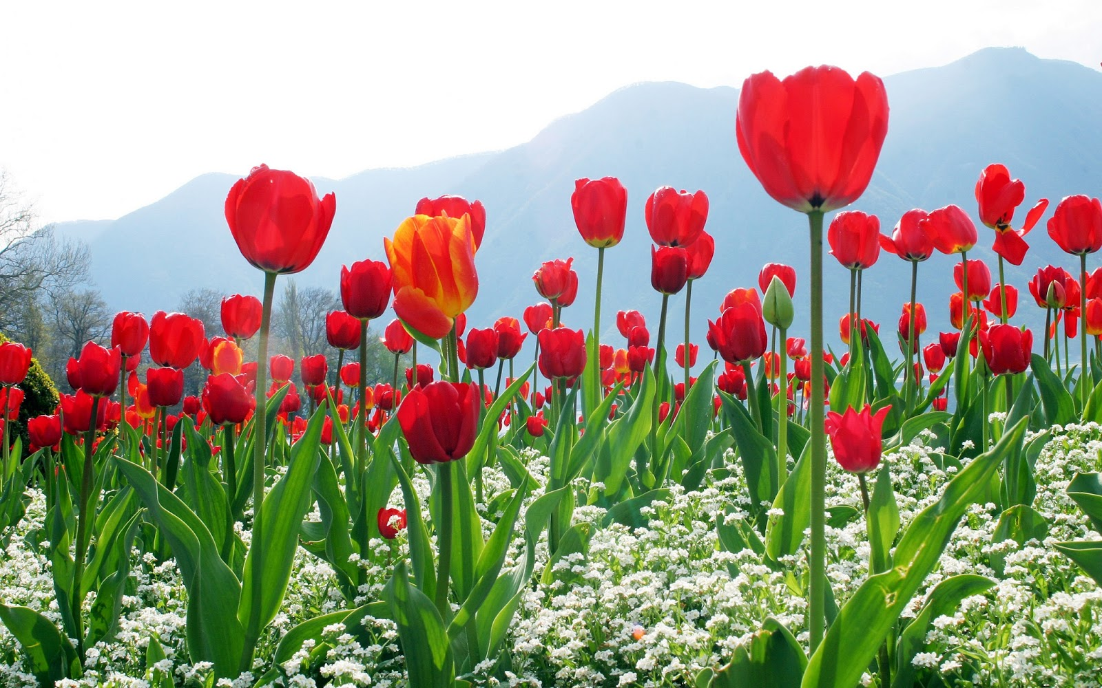 Download Free Beautiful Tulips Wallpapers Most Beautiful Places In