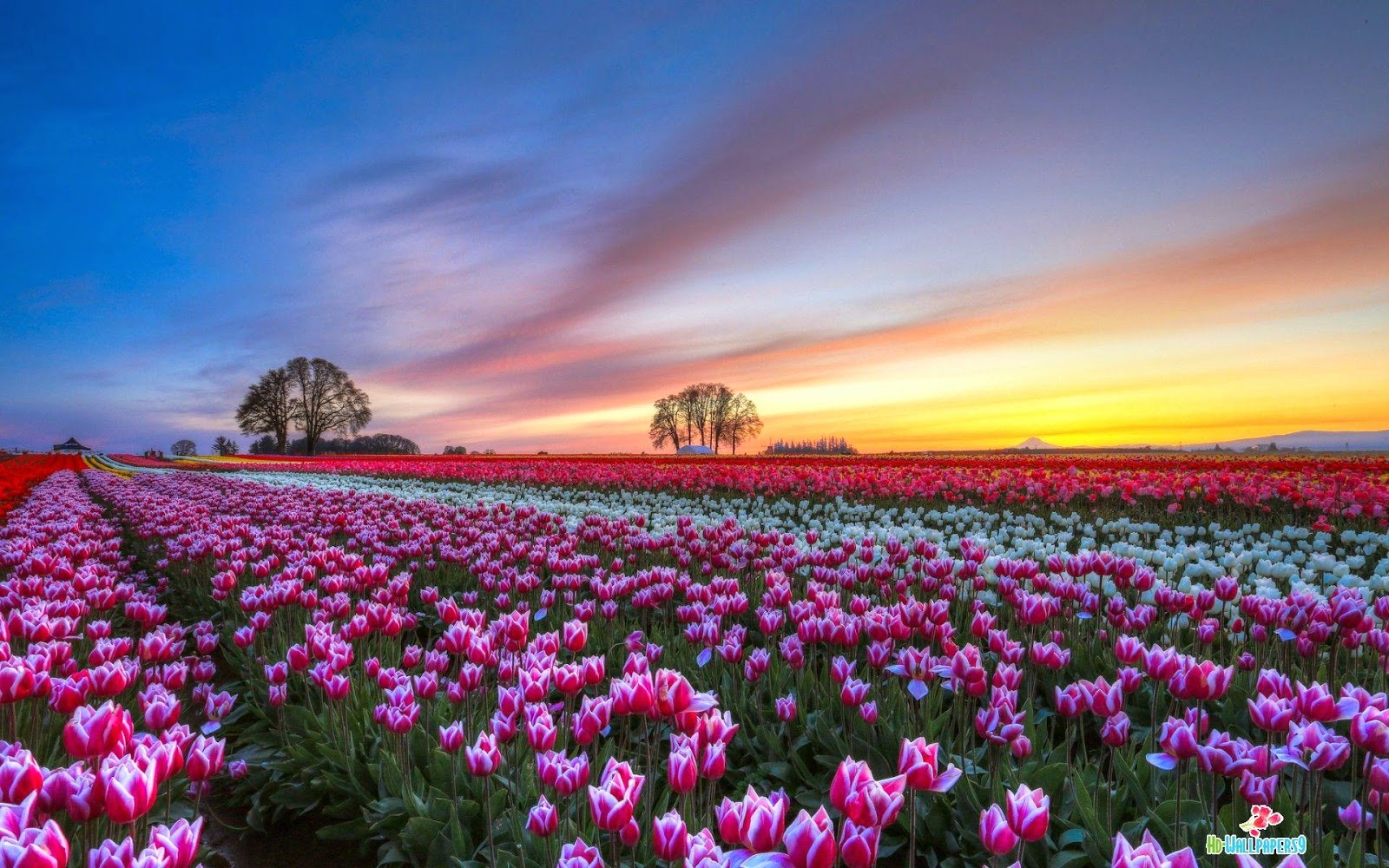 White And Purple Tulips Field Wallpapers Hd Wallpapers