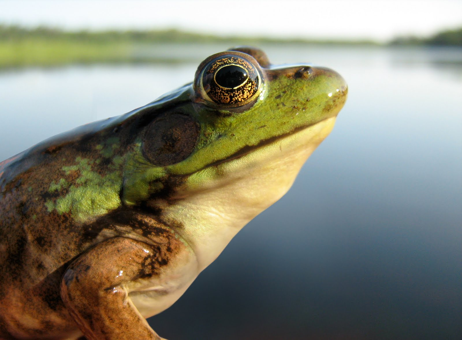 Amphibians, an indicator of healthy ecosystems, are killed by the surficant in glyphosate.
