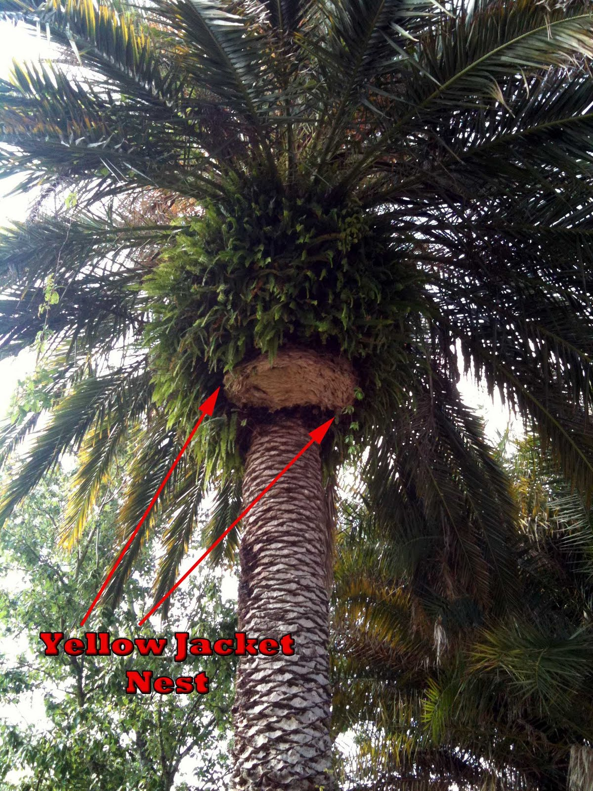 Kill yellow jackets in the ground - Largo Yellow Jacket Nest In Palm