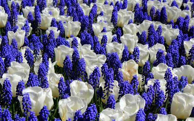 Flores Azules y Blancas Imágenes de Flores para San Valentin