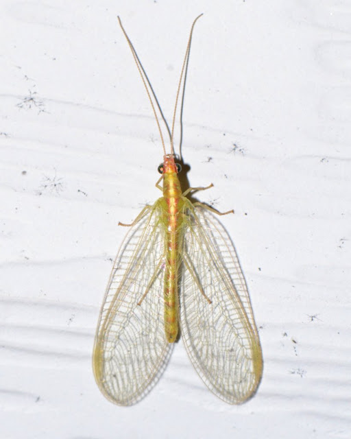 green lacewing in December