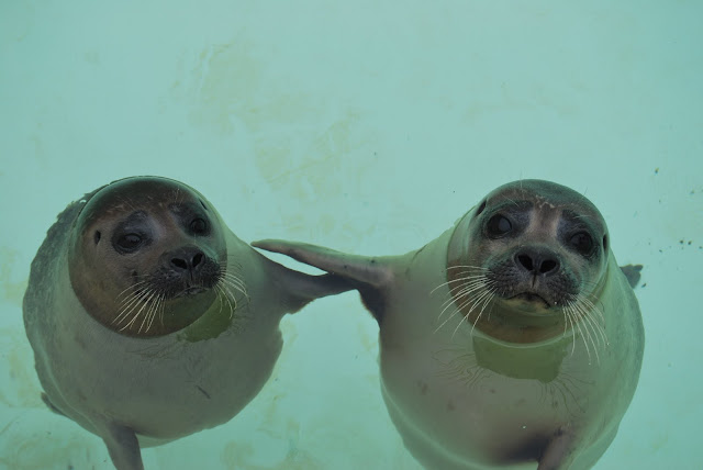 This two baby seals are best friends, funny seals, funny animals, animal friends