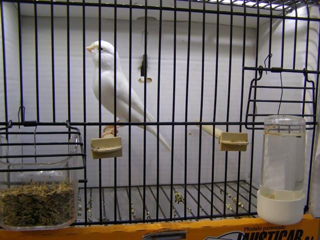 Outro branco recessivo, para mim um dos melhores passarinhos expostos nesta classe.