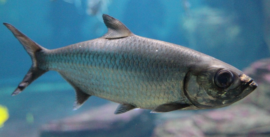 Fish identification atlantic tarpon silver king cuffum for Edible freshwater fish