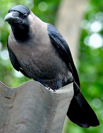 कौवा पक्षी का महत्तव
