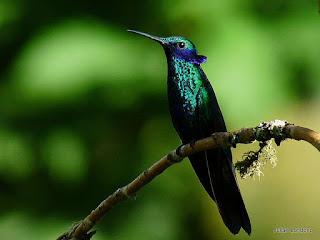 Burung Kolibri termasuk dalam keluarga Trochilidae, Burung Kolibri ini masuk dalam kelompok burung yang bertubuh kecil, dan salah satu jenis Burung Kolibri yakni Kolibri Lebah. Burung Kolibri Lebah adlah burung tercekil yang pernah di temukan. Mereka dapat melayang-layang di udara mengepakkan sayapnya 12-90 kali per detik (tergantung dari spesies burung kolibri). Mereka juga dapat terbang mundur, dan merupakan satu-satunya kelompok burung yang bisa melakukan hal itu melakukannya. Nama latrin mereka di ambil dari karaktistik dengungan yang di buat oleh sayap mereka kapakkan dengan cepat. Kolibri dapat terbang dengan kecepatan lebih dari (15m/detik (54km/ jam, 34mil/jam).    Makanan Yang Di Butuhkan Burung Kolibri  Burung Kolibri meminum nektar bunga, cairan manis dari dalam bunga. Seperti lebah, Burung Kolibri mampu menilai jumlah gula dalam nekatar yang meraka makan. burung ini tidak mendekati bunga yang menghasilkan madu yang kadar gulanya kurang dari 10% dan lebih menyukai bunga dengan kadar gula yang tinggi. Nektar adalah sumber makanan yang miskin nutrisi, sehingga burung kolibri memenuhi kebutuh pretein, asam amino, vitamin, mineral dan lain-lain dengan memakan serangga dan leabh-lebah, terutama saat burung kolibri memberi makanan ke anak-anaknya.  Kelemahan Burung Kolibri Kurang mampu menyesuaikan diri pada lingkungan baru Ketika burung ini kesehatanya drop bisa berhenti berkicau Keunggulan Burung Kolibri Caranya terbang. Burung ini mengepakkan sayapnya dengan amat cepat seperti kepakan sayanp tawon sehingga saat terbang sayapnya menjadi tidak jelas terlihat. Menurut para ahli, semakin kecil ukuran burung kolibri, semakin cepat pula kepakan sayapnya. Burung kolibri yang besar bisa mengepakan sayapnya sekitar 10 kali per detik. sementara burung yang terkecil bisa mengepakan sayapnya hingga 80 kali per detik. Karena kepakan sayapnya yang amat cepat, saat terbang ia menimbulkan bunyi berdengung seperti lebah. Burung Kolibri tidak hanya bisa terbang lamban atau me