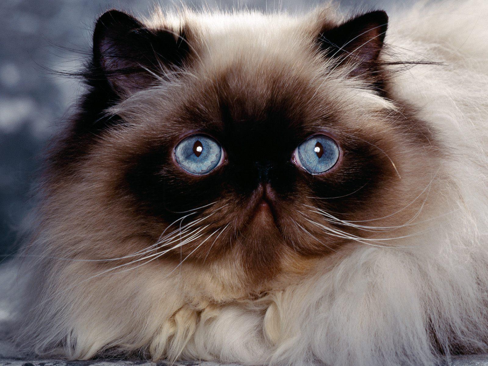 Himalayan Persian Cat | Fun Animals Wiki, Videos, Pictures ...