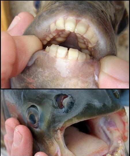 O peixei que possui dentes humanos!