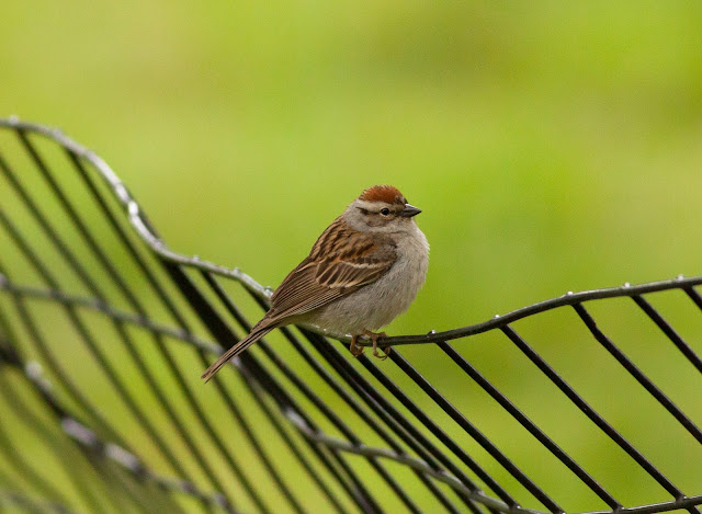 Chipping Sparrow - Central Park, New York