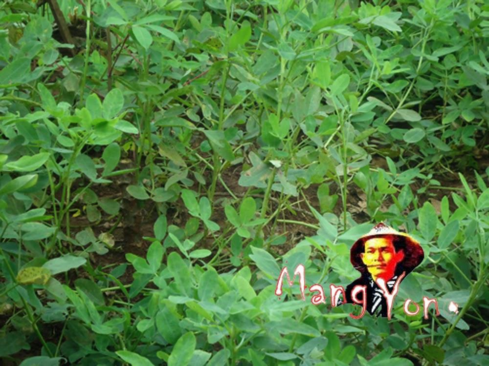 Kalau melihat dari poto ini, tanaman kacang Tanah belum siap di panen