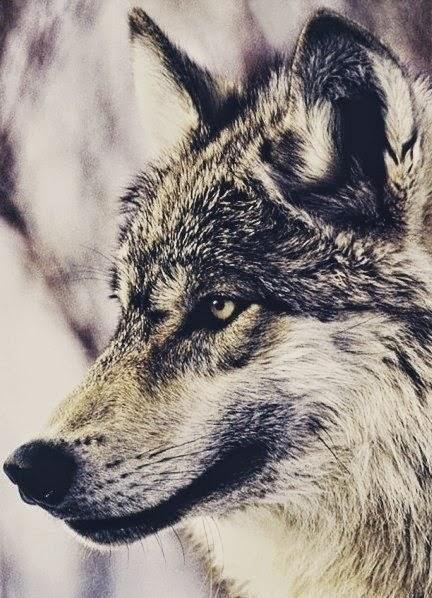 Los lobos de Mercy Falls