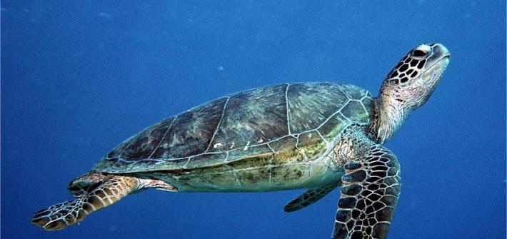Annegata tartaruga rara a Margherita di Savoia