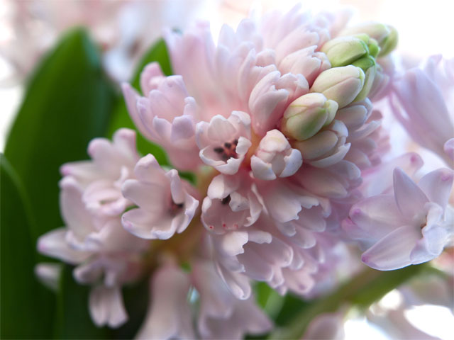 pink hyacinth spring beautiful by marinaoseny marina aleksjutina