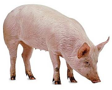 Fakta Ilmiah tentang Babi yg sebaiknya anda ketahui