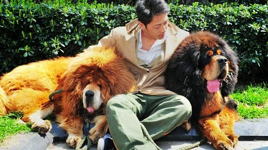 Tibetan Mastiff Puppy, World's Most Expensive Dogs, Lion Blood Tibetan Mastiff