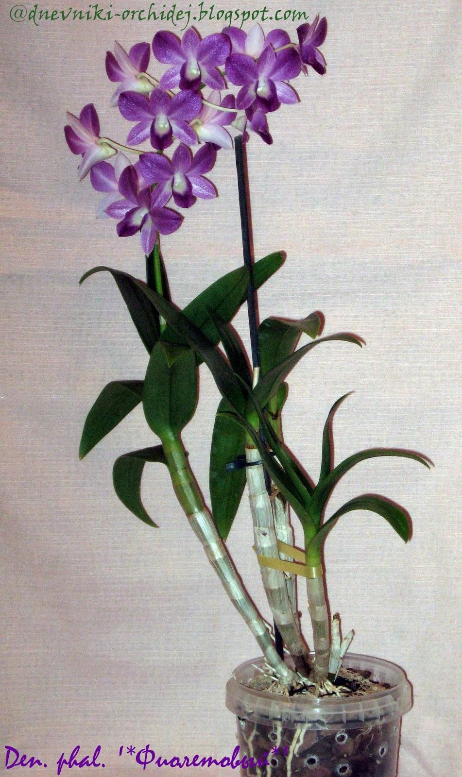 Стройный дендробиум фаленопсис Фиолетовый во всей своей красе
