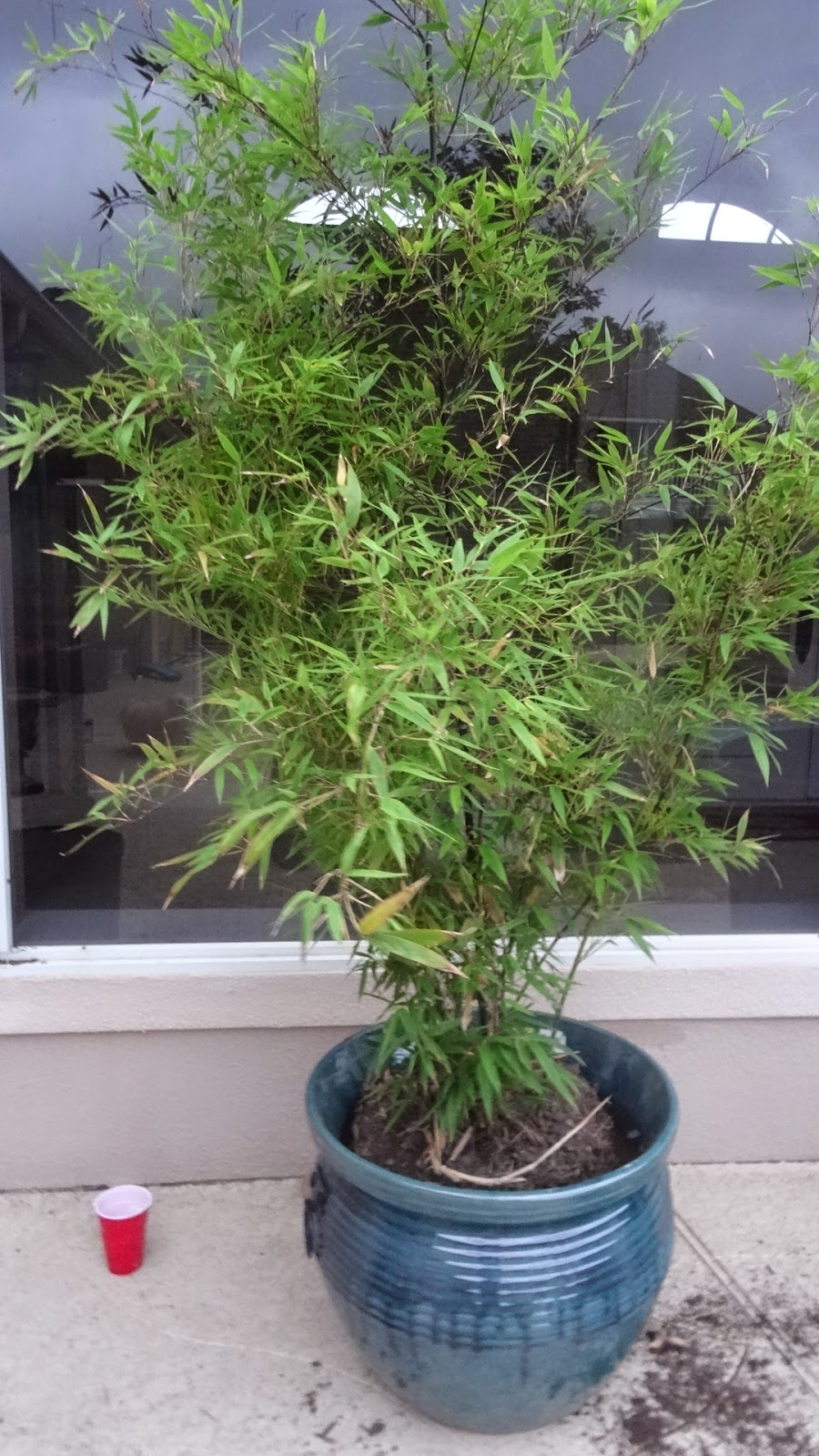 according to lenetta planting running black bamboo in pots