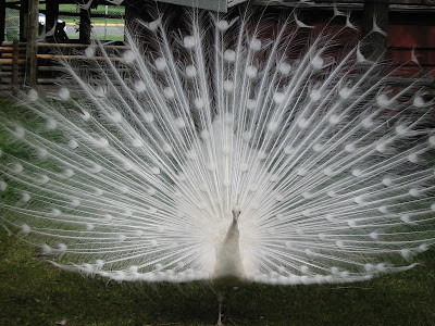 White Peacock - Beautiful Photo Collection...