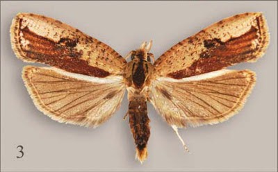 http://sciencythoughts.blogspot.co.uk/2013/09/a-new-species-of-leafroller-moth-from.html
