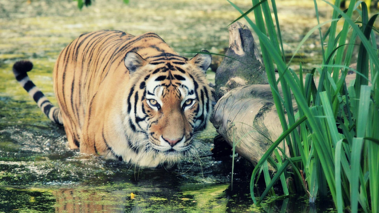 Hd Tiger Wallpapers Tiger Pictures Animal Photo