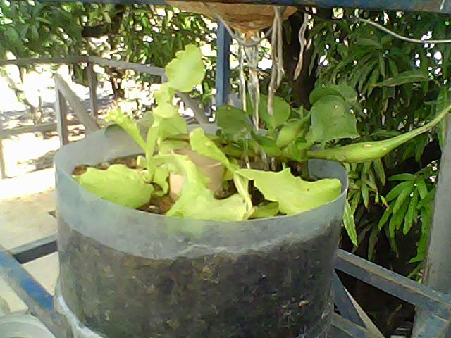 cria de tilapias en azotea la siembra de ciro